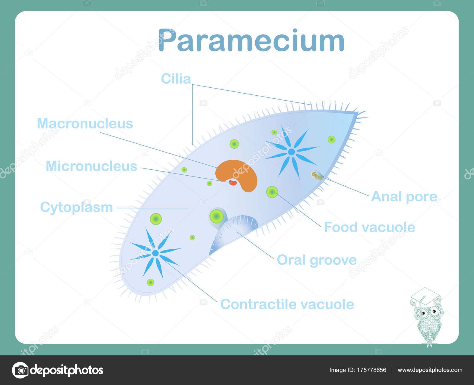 Structure scheme paramecium school biology lessons stock vector structure scheme paramecium school biology lessons stock vector illustration stock vector pooptronica Gallery
