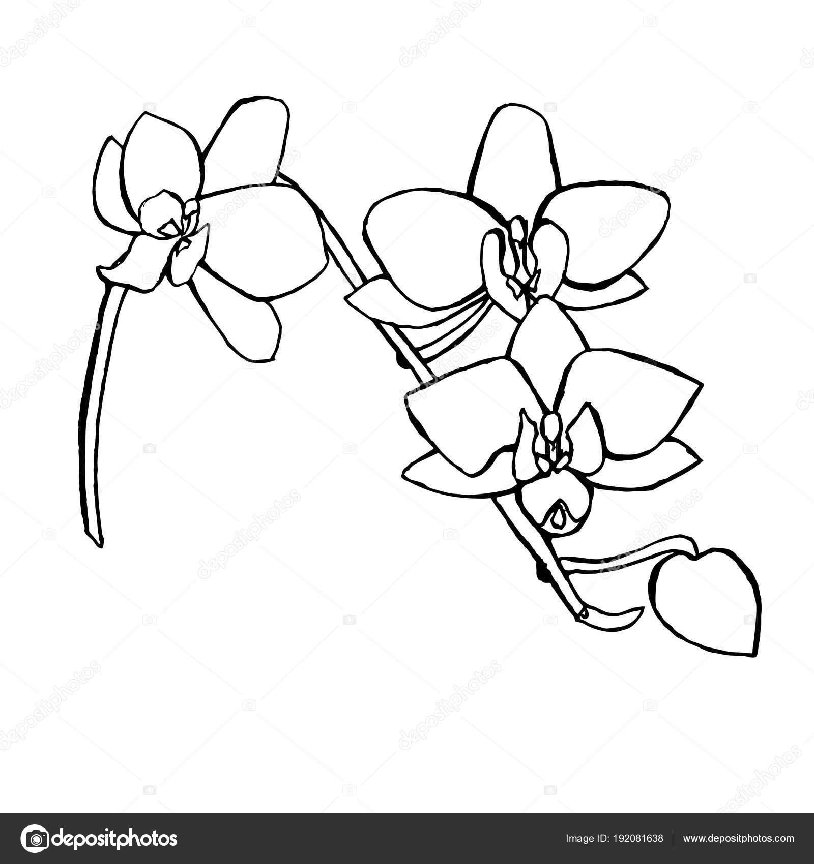 Esbozo Flores Orquídeas Ilustración Dibujado Mano Tinta Monocromo ...