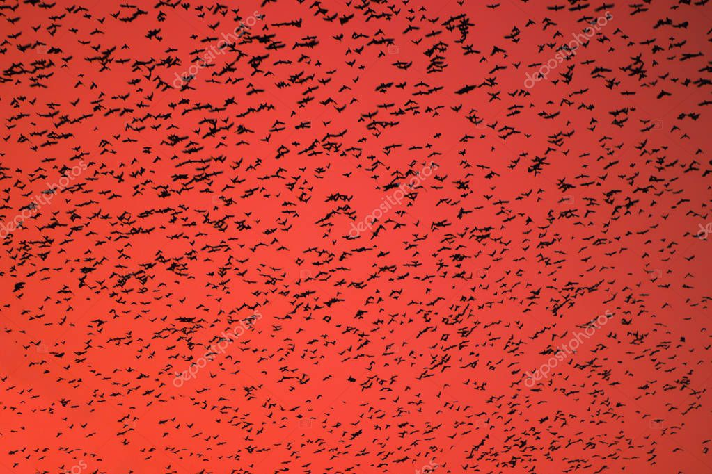 Flock of birds swarming on orange sky.
