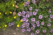 Fényképek lila pink erezett virágzik a tavaszi reggel dicsőség