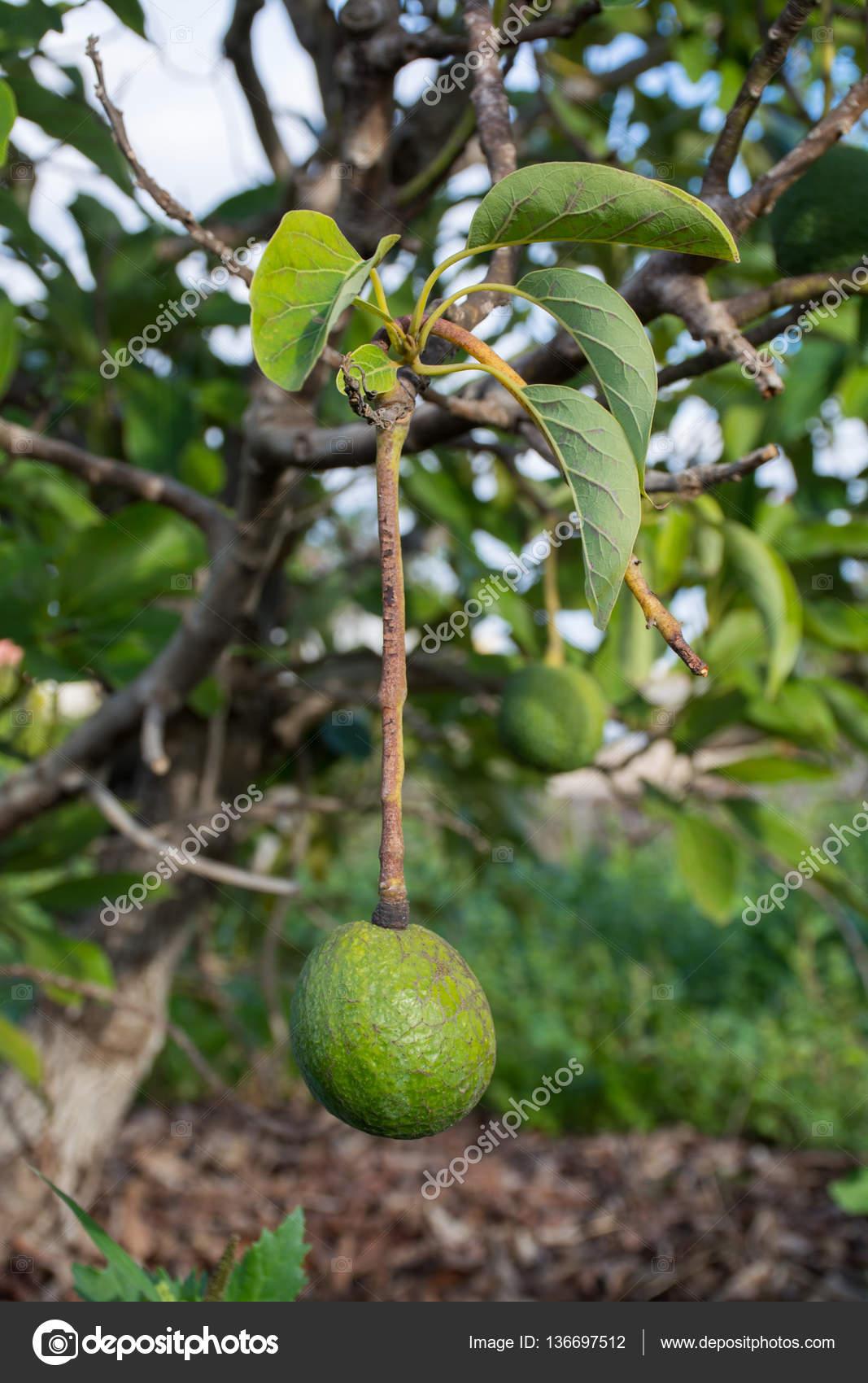 vert avocat mûr sur la plantation d'arbres, avocat — photographie