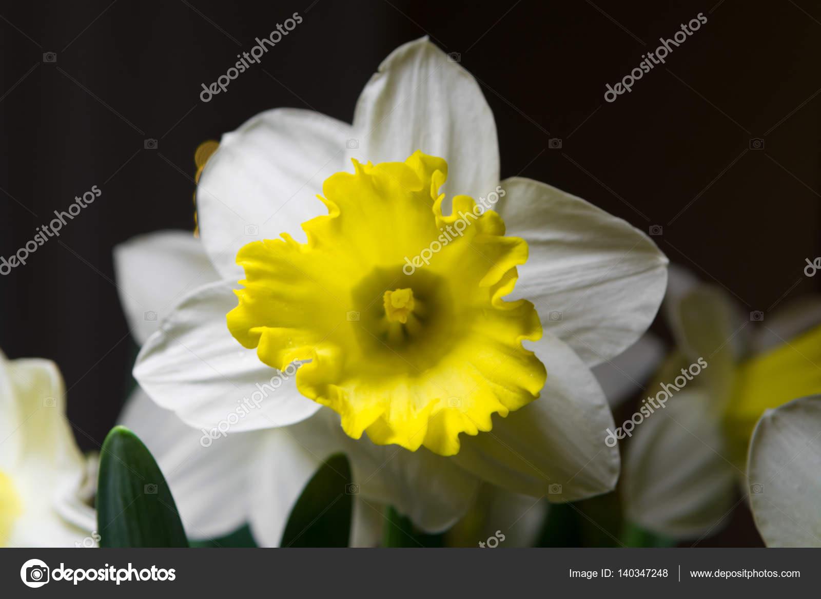 Narcisse Fleur Jaune Blanche De Printemps Photographie Foto
