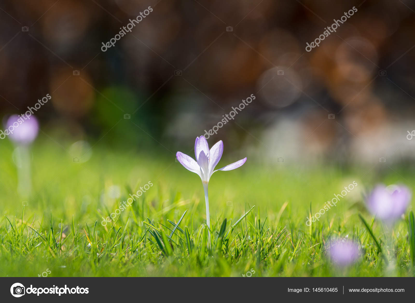 Group Of First Spring Flowers Purple Crocuses Blossom Outside