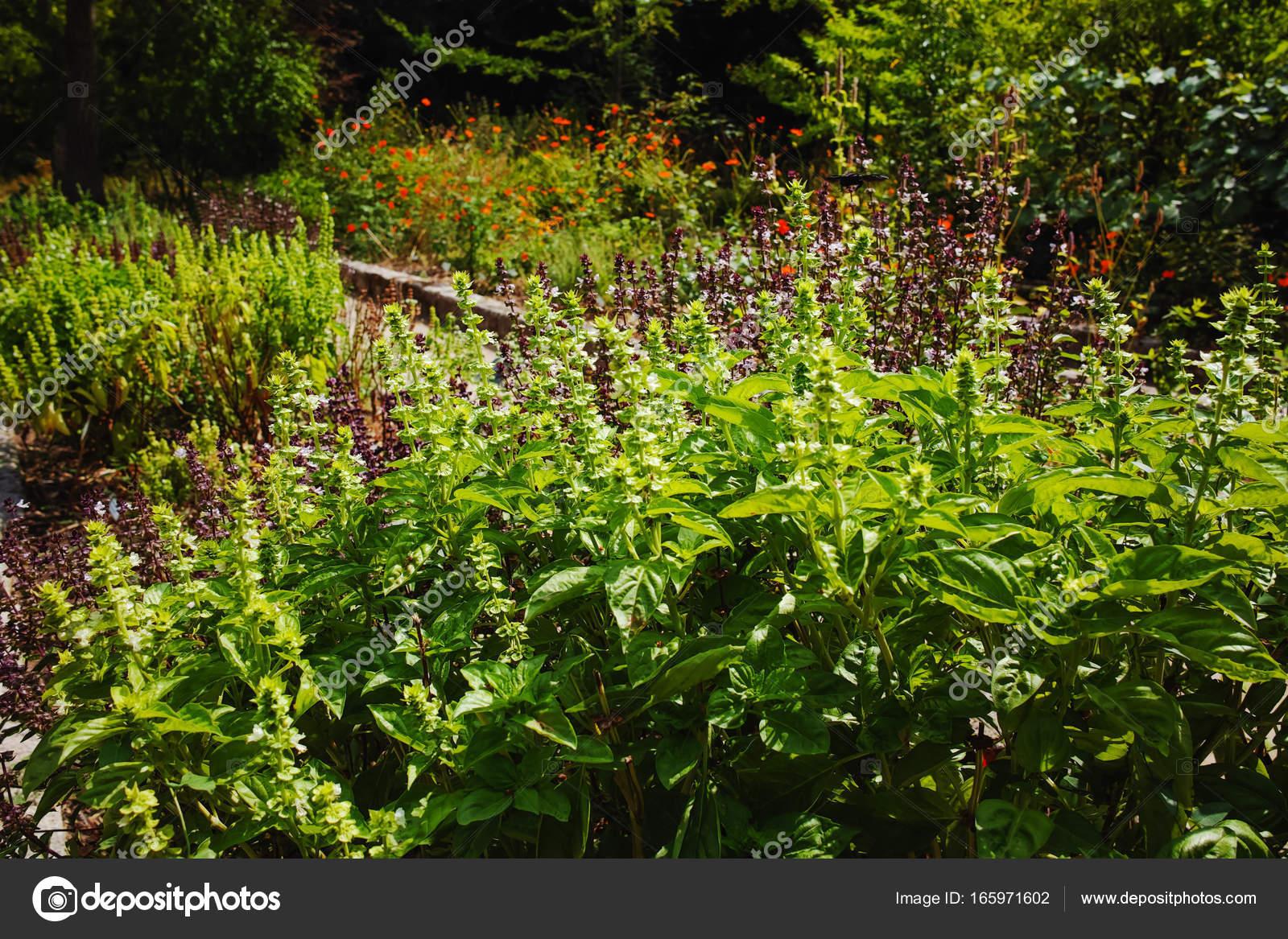 Erbe Aromatiche Fresche Basilico Pianta Nel Giardino Foto Stock