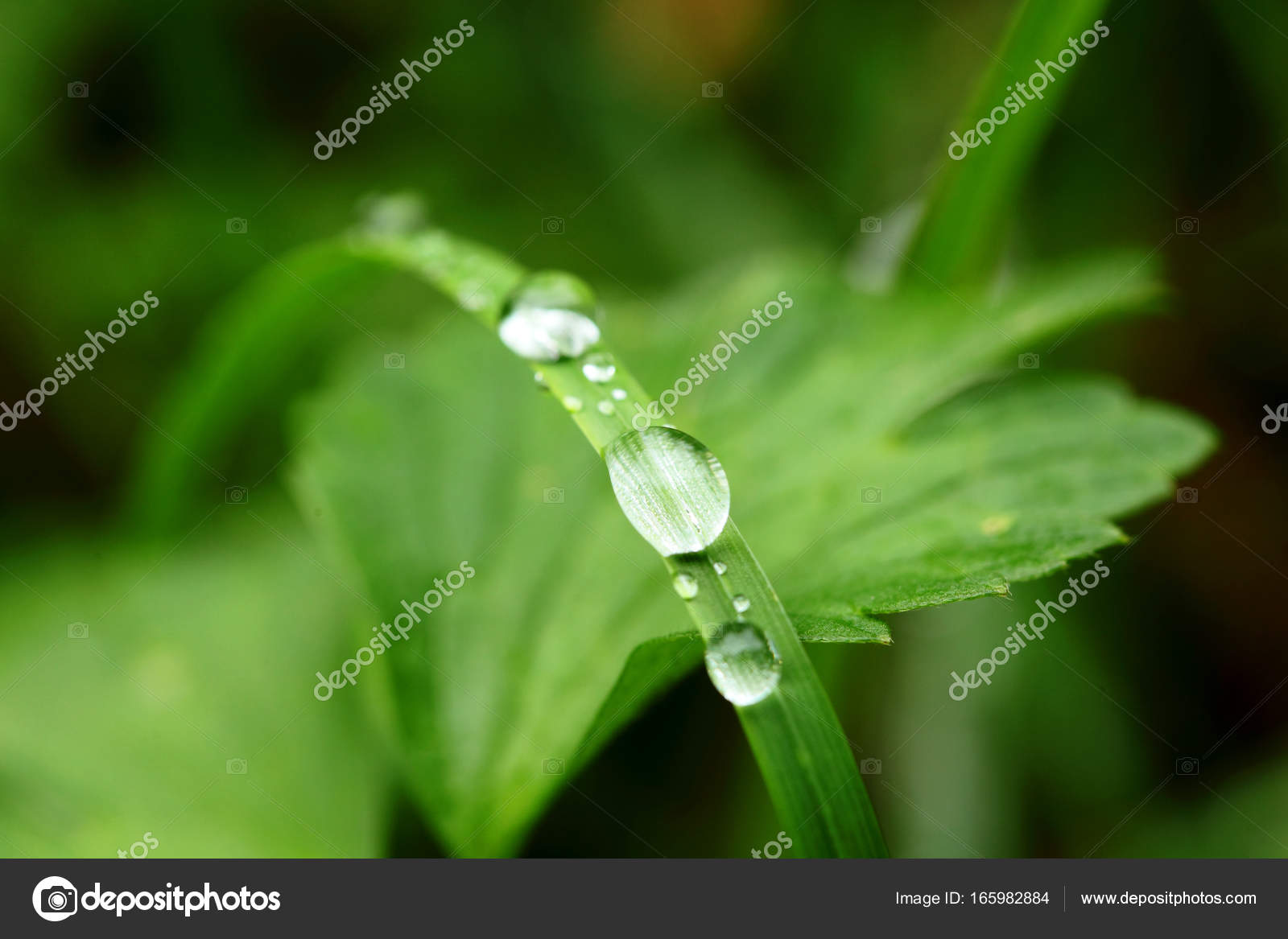 Drops Of Dew On A Green Leaf Grassselective Focus Macro Stock Use Selective In Photography For Dummies Photo By Simplessellergmailcom