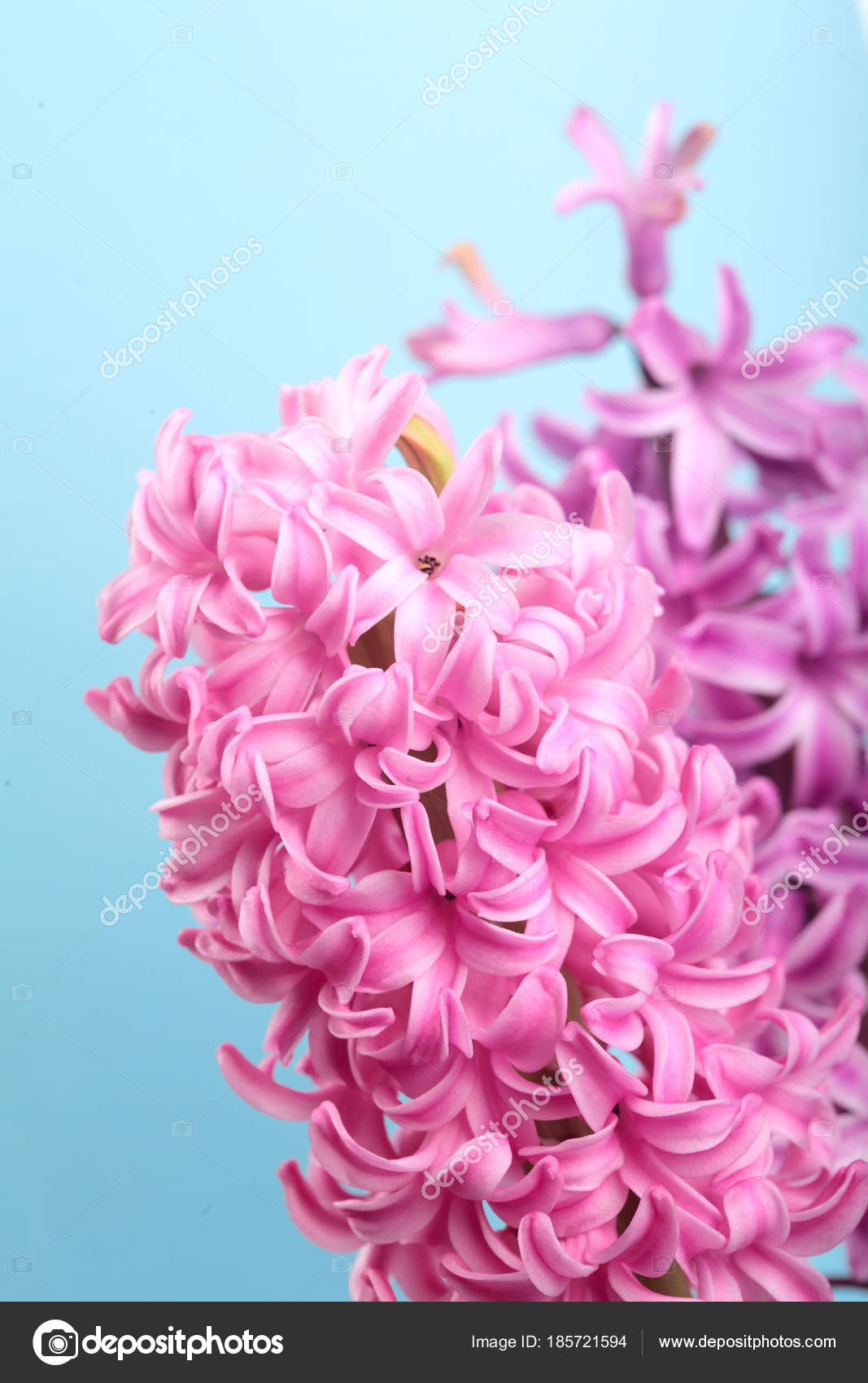 Hyacinth pink surprise and violet dutch hyacinth spring flowers hyacinth pink surprise and violet dutch hyacinth spring flowers the perfume of blooming hyacinths mightylinksfo Gallery