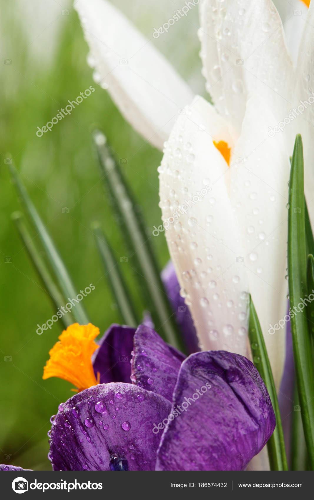 Crocusautiful first spring flowers crocuses bloom macrooseup beautiful first spring flowers crocuses bloom macrooseup lective focusckgroundpy space photo by simplessellerail mightylinksfo