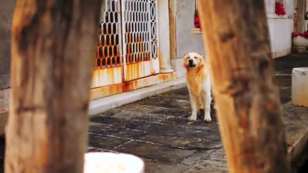 Labrador auf der venezianischen Straße. Ein Hund ohne Herrchen auf einer Stadtstraße. Labrador wedelt fröhlich mit dem Schwanz auf der Straße am Kanal in Venedig.