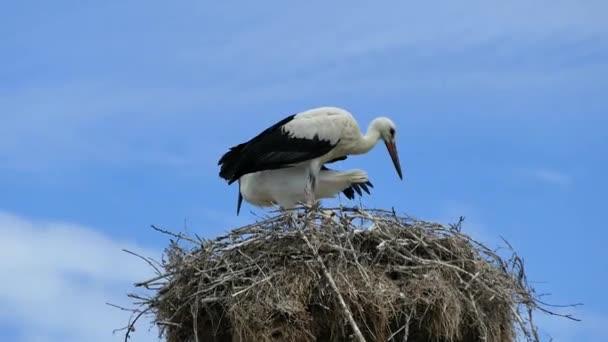 Samec a samice čápů v jejich hnízdě