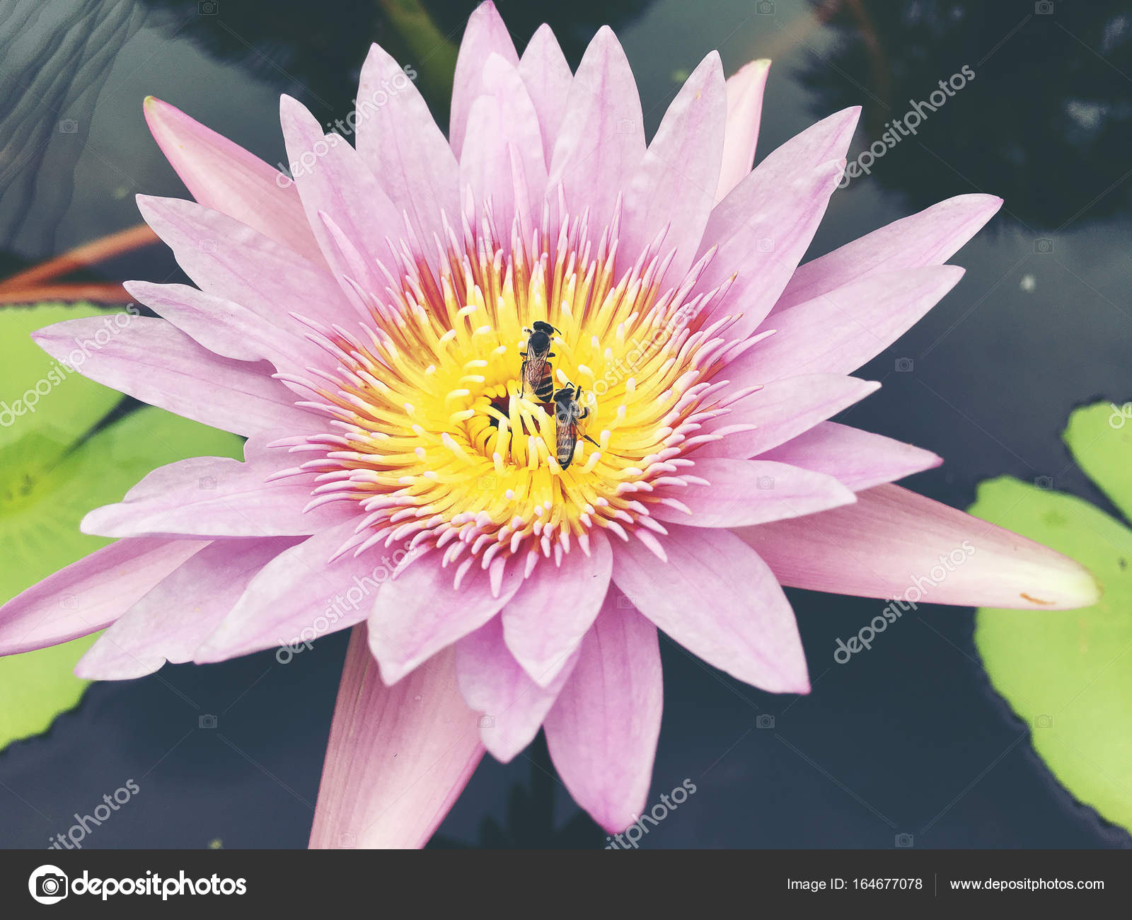 Honey bee collects pollen showing its pollen baskets and flies away honey bee collects pollen showing its pollen baskets and flies away on lotus flower in the pond saturated colors and vibrant detail make this an almost izmirmasajfo