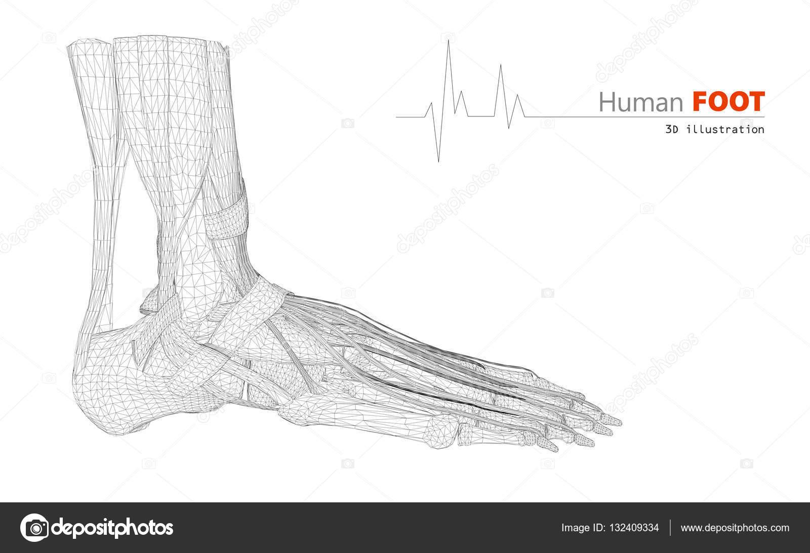 Abbildung auf der menschlichen Anatomie, Fuß isoliert Background ...