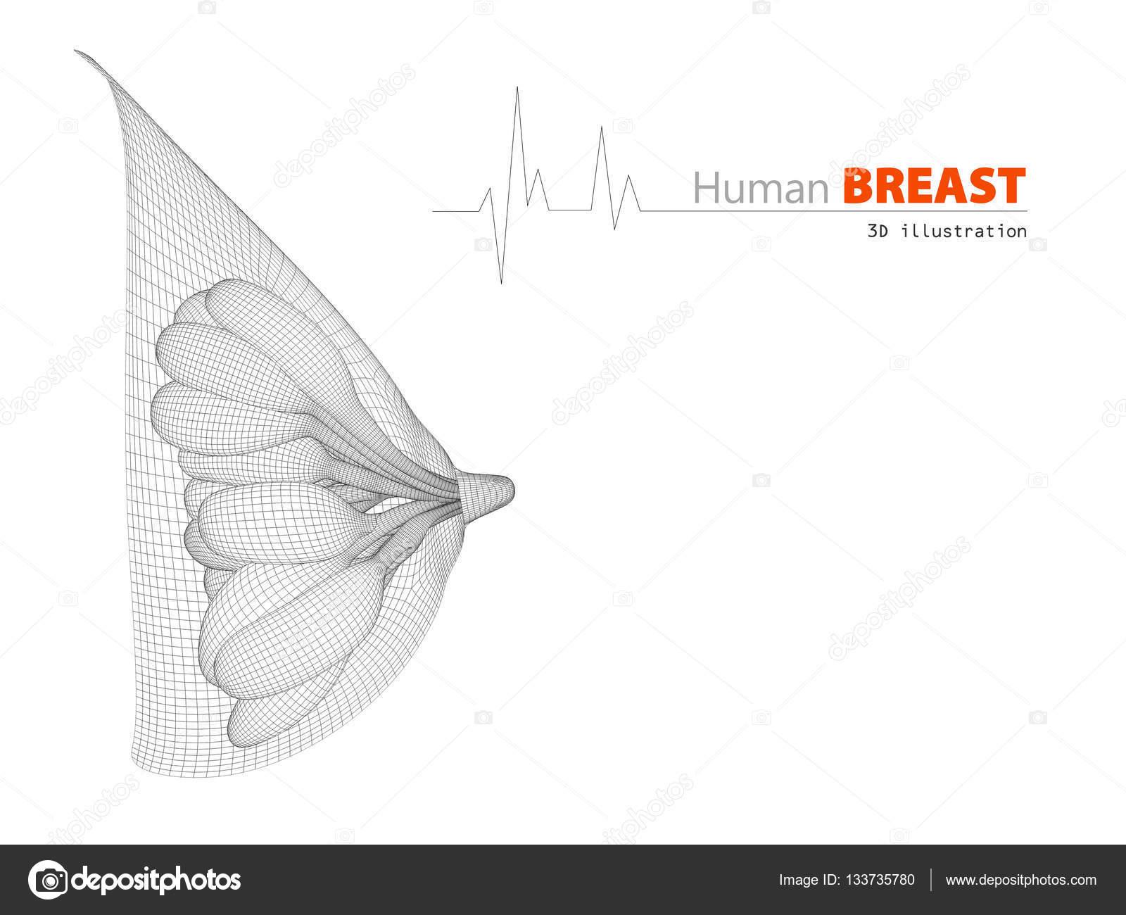 Ilustración de la anatomía del pecho femenino sobre fondo blanco ...