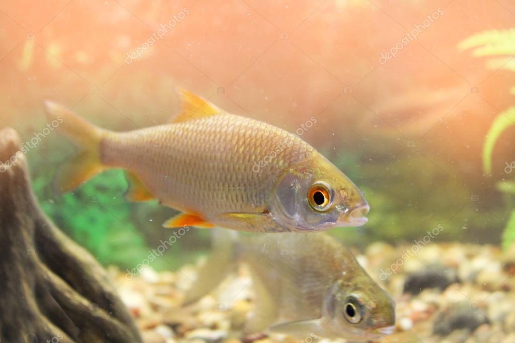 мягкая легкая, чебак в аквариуме фото вид флага