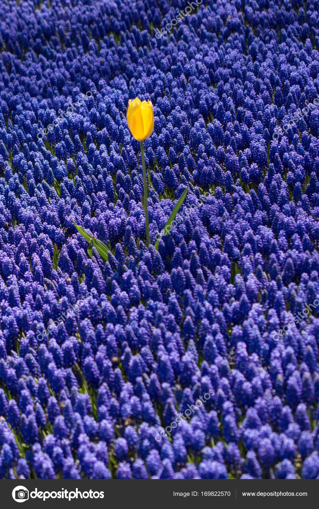 Single Tulip Flower In Spring Season Stock Photo Turgayada