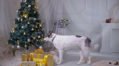 husky dog tasting christmas tree funny christmas situation