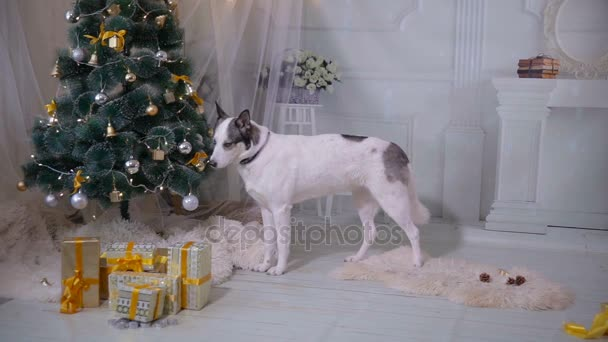 husky dog tasting christmas tree funny christmas situation stock video - Husky Christmas Decoration