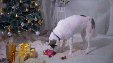 Sibiřský husky otevření dar poblíž Vánoce vánoční stromeček