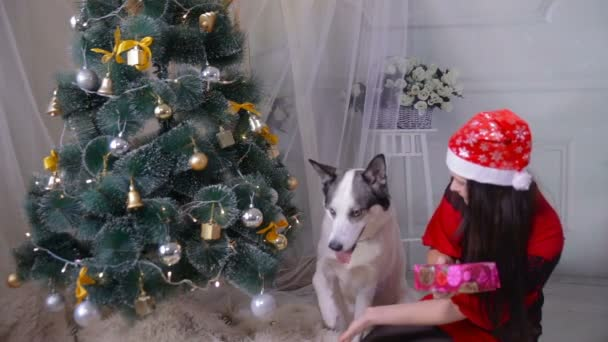 a girl giving a gift to her husky dog near christmas tree during new year celebration