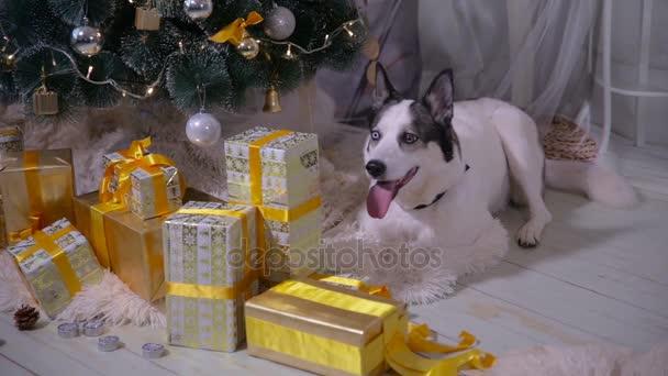 Imádnivaló husky kutya közelében új év tree, őrök karácsonyi ajándékokat
