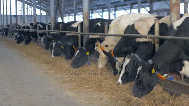 Krávy v zemědělské stodole jíst seno. Kráva farma uvnitř