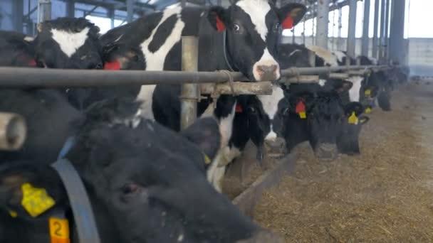 Mucche nel granaio dellazienda agricola che mangia fieno. Fattoria mucca al chiuso.
