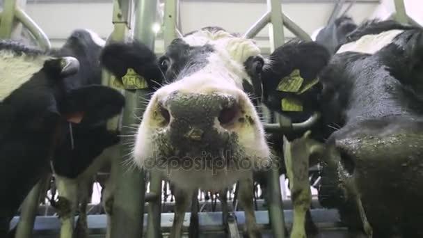 Detailní záběr kráva legrační obličej, nos na farmě