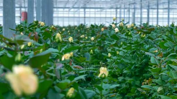 Výroba květin v obří skleník