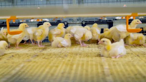 Young chicken at poultry cage. Chicken Farm interior.