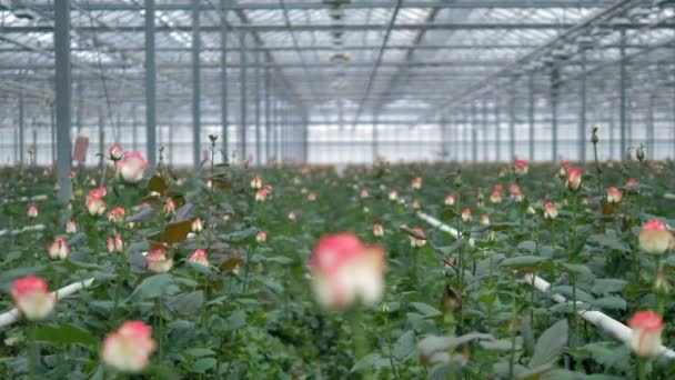 Květina pole plné růží ve skleníku