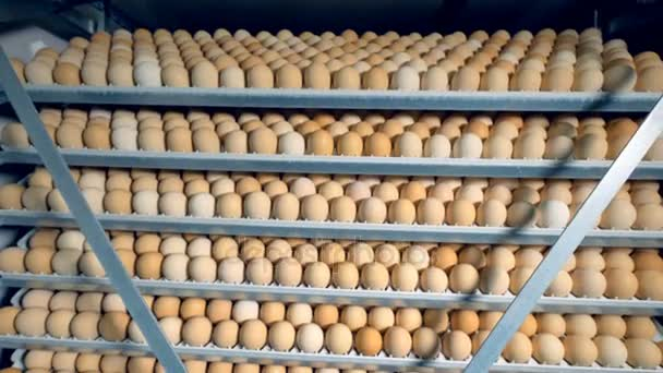 Many chicken eggs in a poultry incubator. Farm incubator, modern agriculture equipment. Chicken eggs incubation. 4K.