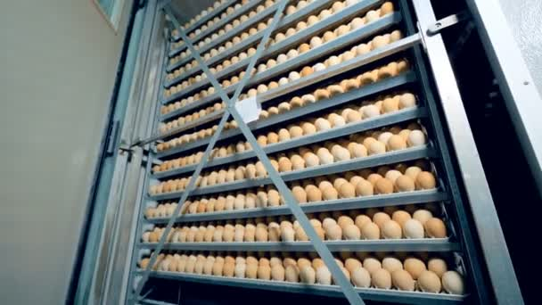 Chicken eggs production at poultry. Farm incubator, modern agriculture equipment. Chicken eggs incubation. 4K.
