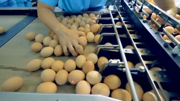Hühnerfarmen-Geflügelarbeiter beim Sortieren von Eiern am Fließband. Industrielle Produktionslinie für Geflügel.