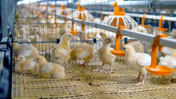 Baby chiken at a poultry. Chicken Farm, poultry equipment.