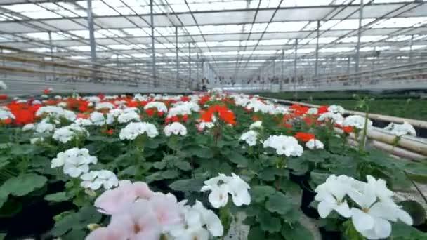 Čerstvé květiny sazenice, výhonek roste ve skleníku. 4k