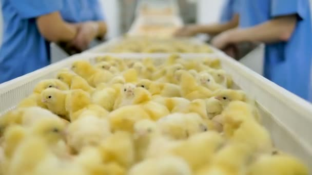 Baby chicken, many cute chicks at a poultry farm, poultry conveyor. 4K.