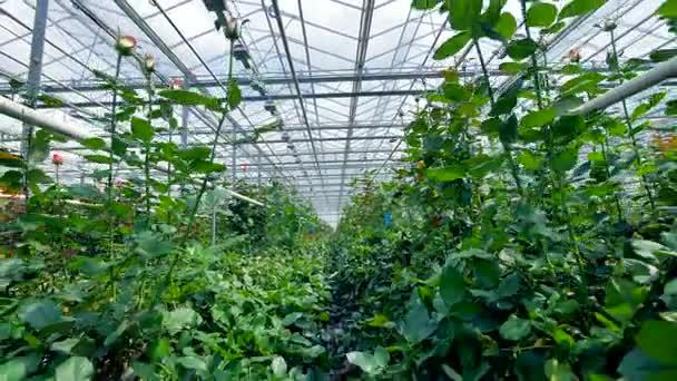 Velký skleník. Pěstování květin ve velkém skleníku