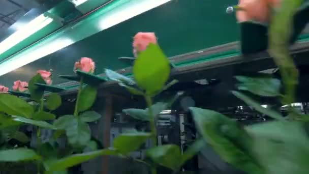 A low view on stem roses moving on a bunching conveyor.