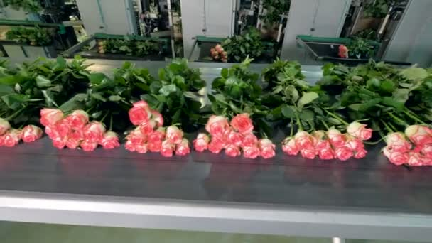 Flower processing line with freshly cut roses.