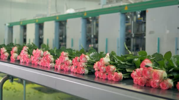 Many roses transported from the processing plant ready for sale.