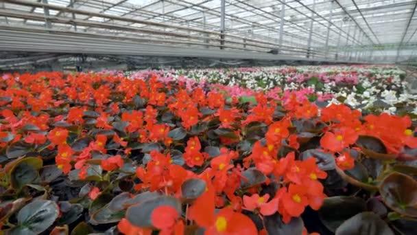 Řada květin begonie s červenými květy a tmavé kulaté fialové listy