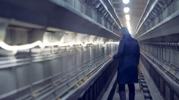 Pracovník je chůze po chodbě drůbežárně a pozorování malá kuřata