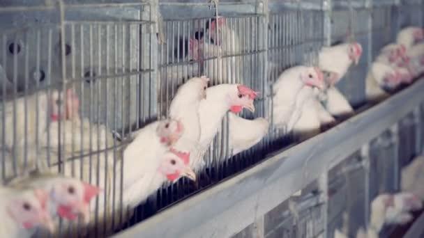Kuřata mají své jídlo na drůbež, zblízka