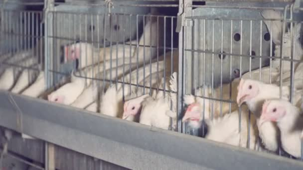 Bílá slepice sníst své jídlo ve stodole, zblízka