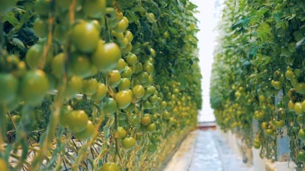 Klaszterek éretlen paradicsom kerülnek tenyésztik a növényzet