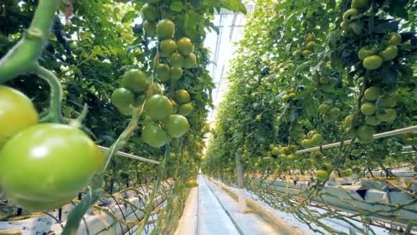 Skleník plný nezralá pěstování rajčat a letní