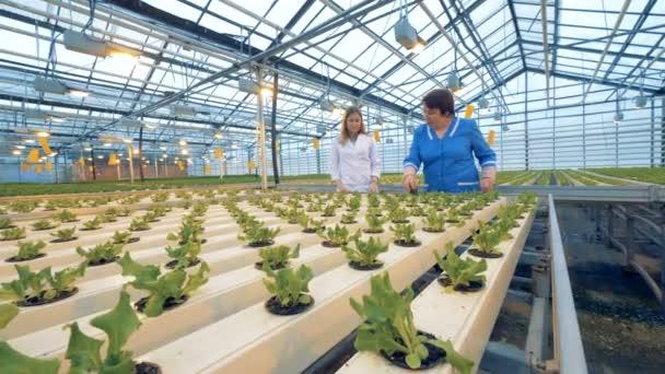 Dvě profesionální zahradníci kontrolovat hrnce ve skleníku. 4k