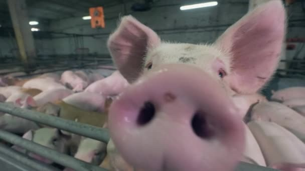 Close up of pigs snout while sniffing the camera