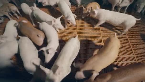 Top kilátás a malacok barangolás a farm cote