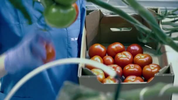 A box with red tomatoes is getting filled by the hothouse worker