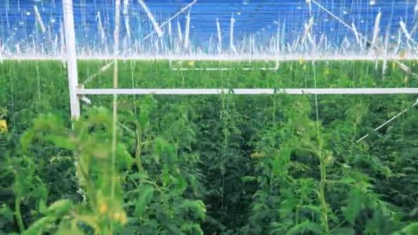 Vysoké rostliny rajčat rostoucí ve skleníku.